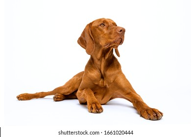 Beautiful hungarian vizsla dog full body studio portrait. Dog lying down and looking to the side over pastel blue background.