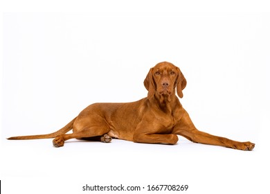 Beautiful hungarian vizsla dog full length studio portrait. Dog lying down and looking at camera over white background.