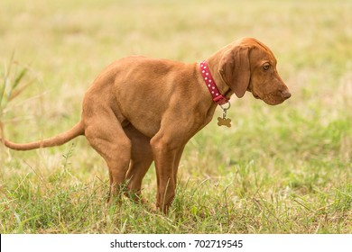 Beautiful hungarian vizsla dog poops in the green park