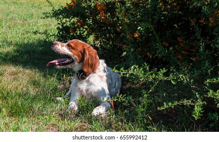 beautiful hunting dog Brittany Spaniel resting in the shade of the tree after a hard workout