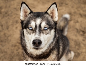 Beautiful husky dog with icy bright blue eyes looks up at the camera with a simple, minimalist, isolated dirt background.