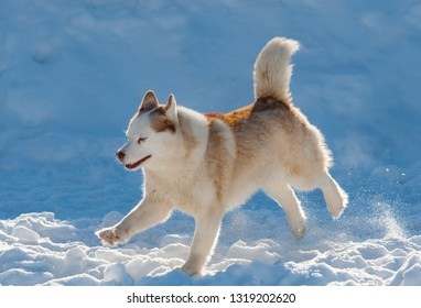Beautiful husky dog running in winter day