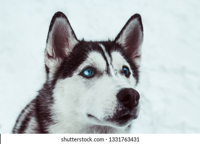 beautiful husky dog in a winter park,husky dog  portrait