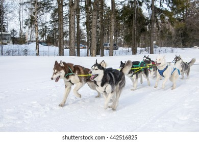 Beautiful husky dog in winter snowy day