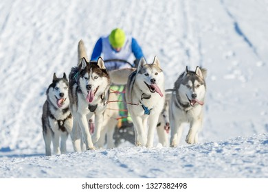 Beautiful husky dogs pulling a sleigh on a snowy road in winter