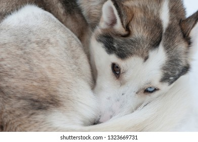 beautiful Husky dogs used for sledding during winter