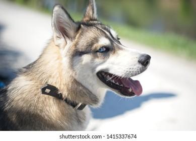 Beautiful husky portrait in summer day