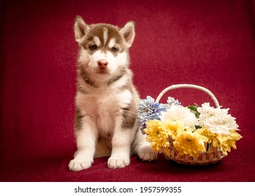 A beautiful husky puppy sitting with the basket of some beautiful white, yellow and blue flowers while posing for the photo.[Siberian Husky]