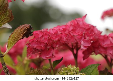 Beautiful Hydrangea flowers blooming in the summer