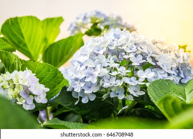 Beautiful Hydrangeas flowers