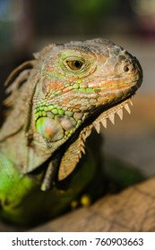 Beautiful Iguana lizard portrait on blurred background