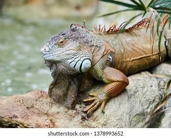 Beautiful iguana at Loro Park (Loro Parque), Tenerife, Canary Islands, Spain