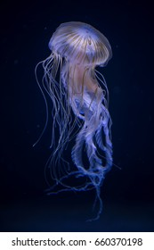 Beautiful illuminated jellyfish Chrysaora Pacifica at aquarium in Berlin