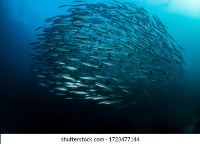 Beautiful image of a Barracuda school swimming past with wonderful detail in Thailands Andaman sea.