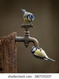 Beautiful image of Blue Tit bird Cyanistes Caeruleus on wooden post with rusty water tap in Spring sunshine and rain in garden