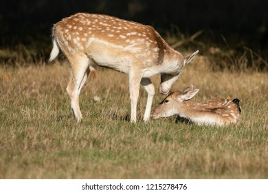 Beautiful image of Fallow Deer Dama Dama in Autumn field and woodland landscape setting