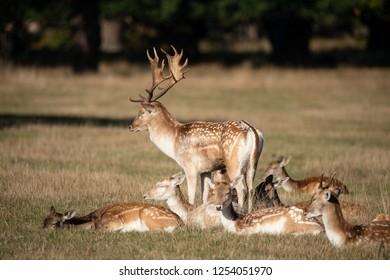 Beautiful image of Fallow Deer Dama Dama in Autumn field and woodland landscape setting