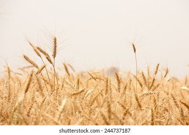 Beautiful Image of Golden Wheat Field, Harvest concept in indian village