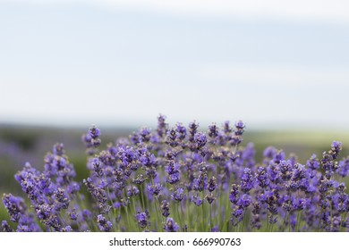 Beautiful image of lavender field, Lavender flower field, image for natural background