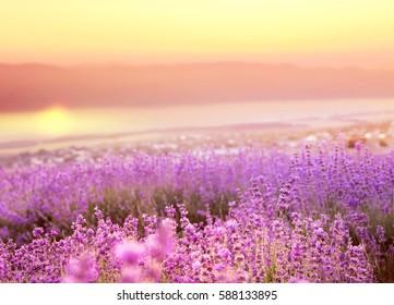 Beautiful image of lavender field over ummer sunset landscape.