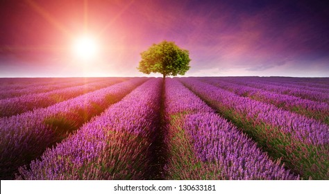Beautiful image of lavender field Summer sunset landscape with single tree on horizon with sunburst