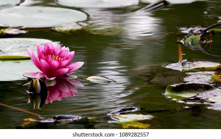 Beautiful image of pink lotus / water lily  (Nelumbo nucifera) in the pond and its reflection.