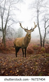 Beautiful image of red deer stag in forest landscape of foggy misty forest in Autumn Fall