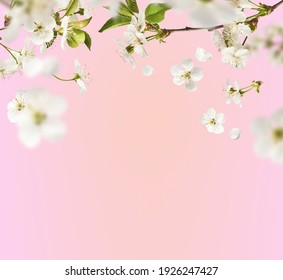 A beautiful image of sping white cherry flowers flying in the air on the pastel pink background. Levitation conception. Hugh resolution image