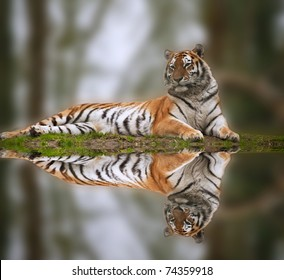 Beautiful image of tiger relaxing on grassy bank reflection in water
