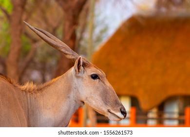 Beautiful Images  of African largest Antelope. Wild african Eland antelope  close up, Namibia, Africa
