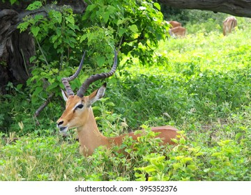 A beautiful Impala mail in the bush