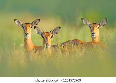 Beautiful impalas in the grass with evening sun, hidden portrait in vegetation. Animal in the wild nature . Sunset in Africa wildlife. Animal in the habitat, face portrait.