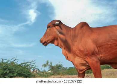 beautiful Indian cow and blue sky, cow,