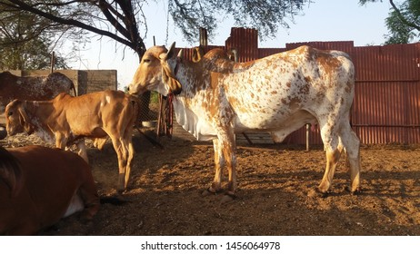 Beautiful Indian Gir Cow captured at Rachana Agro Farm, Pune