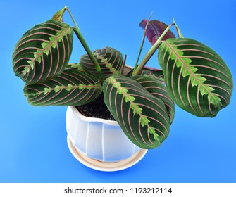 beautiful indoor flower arrowroot on blue background