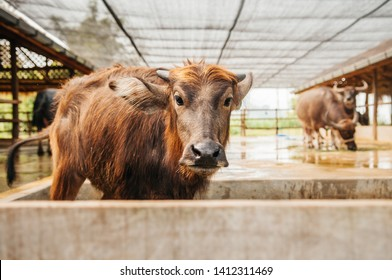 Beautiful innocent face young Asian water buffalo in local dairy farm in Southeast Asia, Laos or Thailand