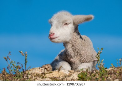 Beautiful and innocent lamb resting in the sun after grazing next to the flock