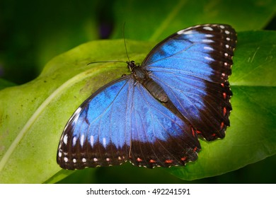 Beautiful insect in the nature habitat, wildlife scene. Butterfly in the green forest in Honduras, Central America. Blue Morpho, Morpho peleides sitting on green leaves.