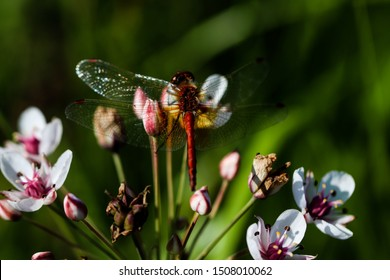 Beautiful insect sitting on a grass rush swamp flower on a blurred nature background. Small dragonfly. Highly detailed creature.
