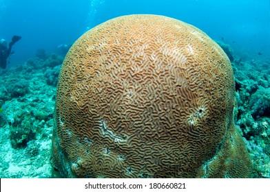 Beautiful intricate pattern of a brain-coral (Platygyra lamellina)