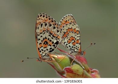 Beautiful iparhan butterfly ; Melitaea trivia