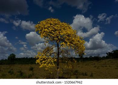 Beautiful Ipe tree in Northern Brazil