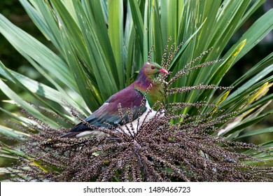 Beautiful iridescent feathers of the NZ native wood pigeon or kereru in maori language. Sitting here in a cabbage tree feasting on the seed pods. Found in urban and rural settings. Noisy flying bird.