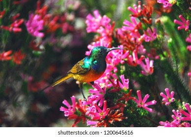 A beautiful, iridescent Orange Breasted Sunbird (Anthobaphes violacea) feeding on colorful flowers near Cape Town in South Africa.