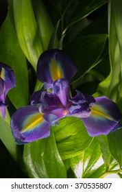 Beautiful iris flower with green leaves as part of bouquet