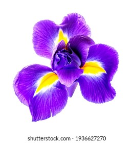Beautiful iris flower isolated on white background