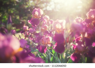 Beautiful iris flowers in the garden at sunset