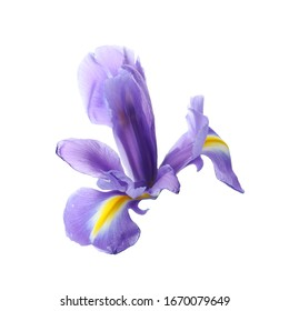 Beautiful iris isolated on white, closeup. Spring flower
