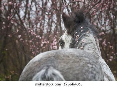 beautiful irish cob gypsy vanner stallion with rose flower tree background - Shutterstock ID 1956464365