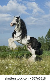 Beautiful Irish cob (tinker) horse prancing in paddock